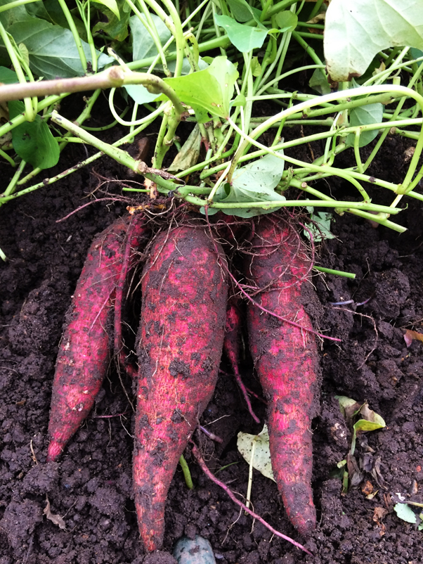 Carolina Ruby sweet potatoes