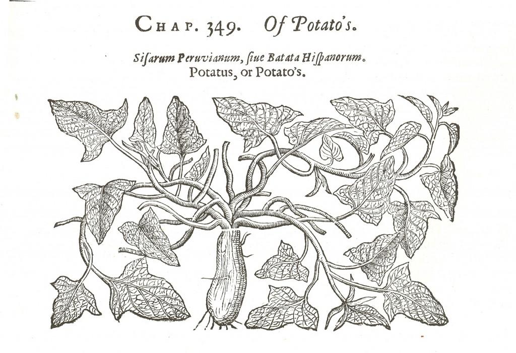 Sweet Potato illustration from John Gerard's 'The Herbal', 1597