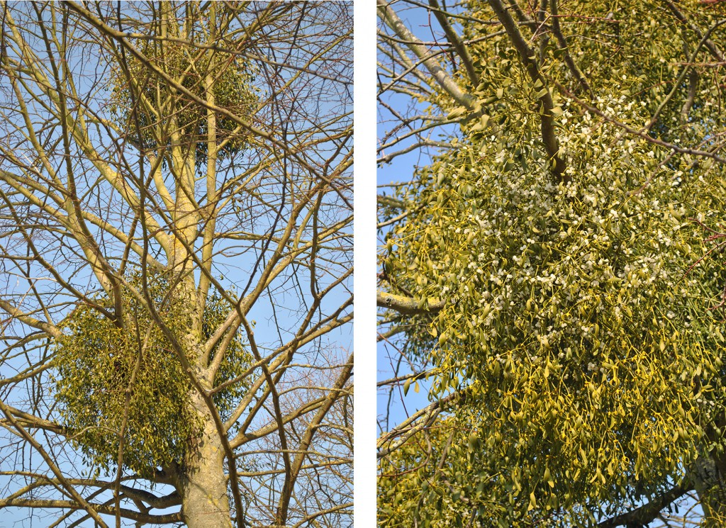 The mistletoe at Hampton Court on the lime trees in the garden avenues