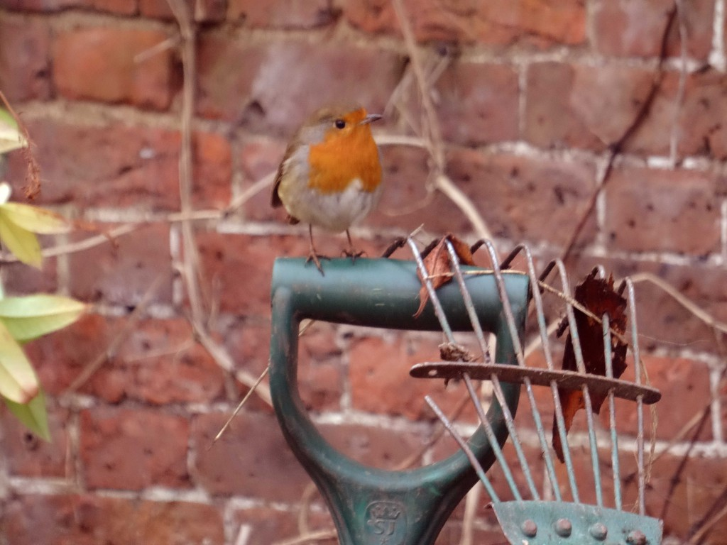 a robin sitting on the handle of a spade at Hampton Court Palace