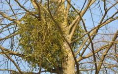 mistletoe at hampton court palace