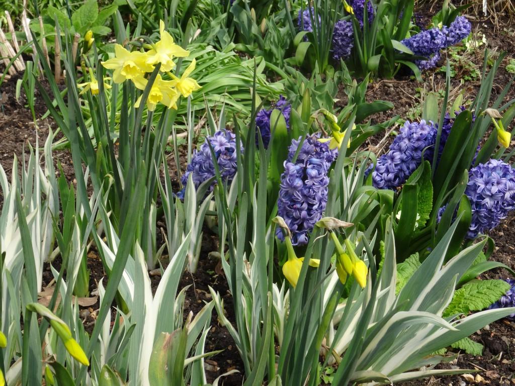 Hyacinth 'Blue Sapphire', Narcissus 'Pipit' and Iris pallida 'Variegata'