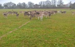 Winter supplementary deer feeding in Home Park