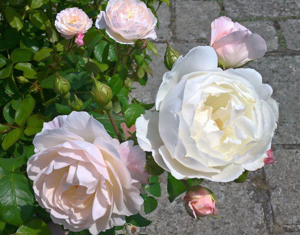 Rosa U0027Desdemonau0027 Planted In The White Garden