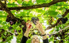 Happy 250th birthday to the Great Vine!