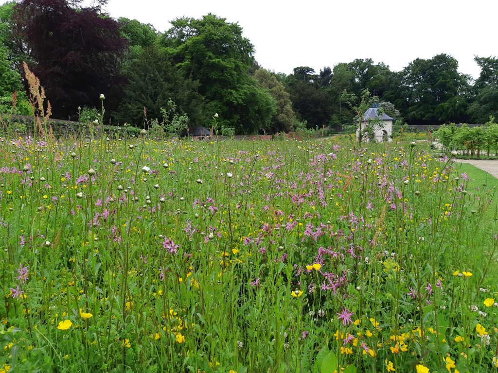 Wildflower meadows in the Walled Garden, featuring field buttercup and ragged robin.